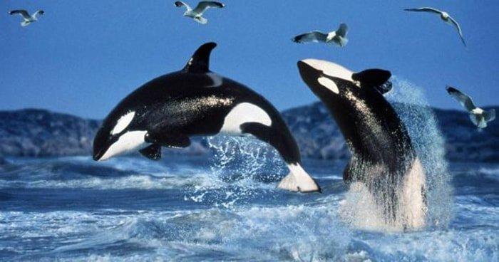 Wikie, la primera orca capaz de reproducir palabras del lenguaje humano