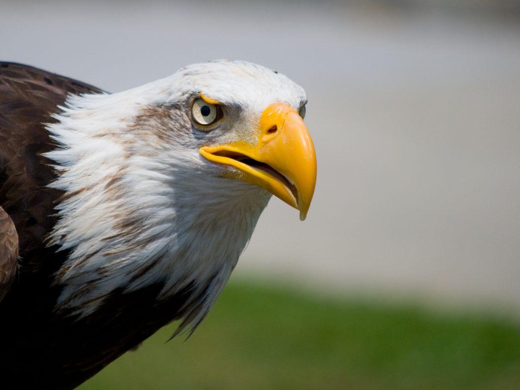 Águila: El señor del cielo